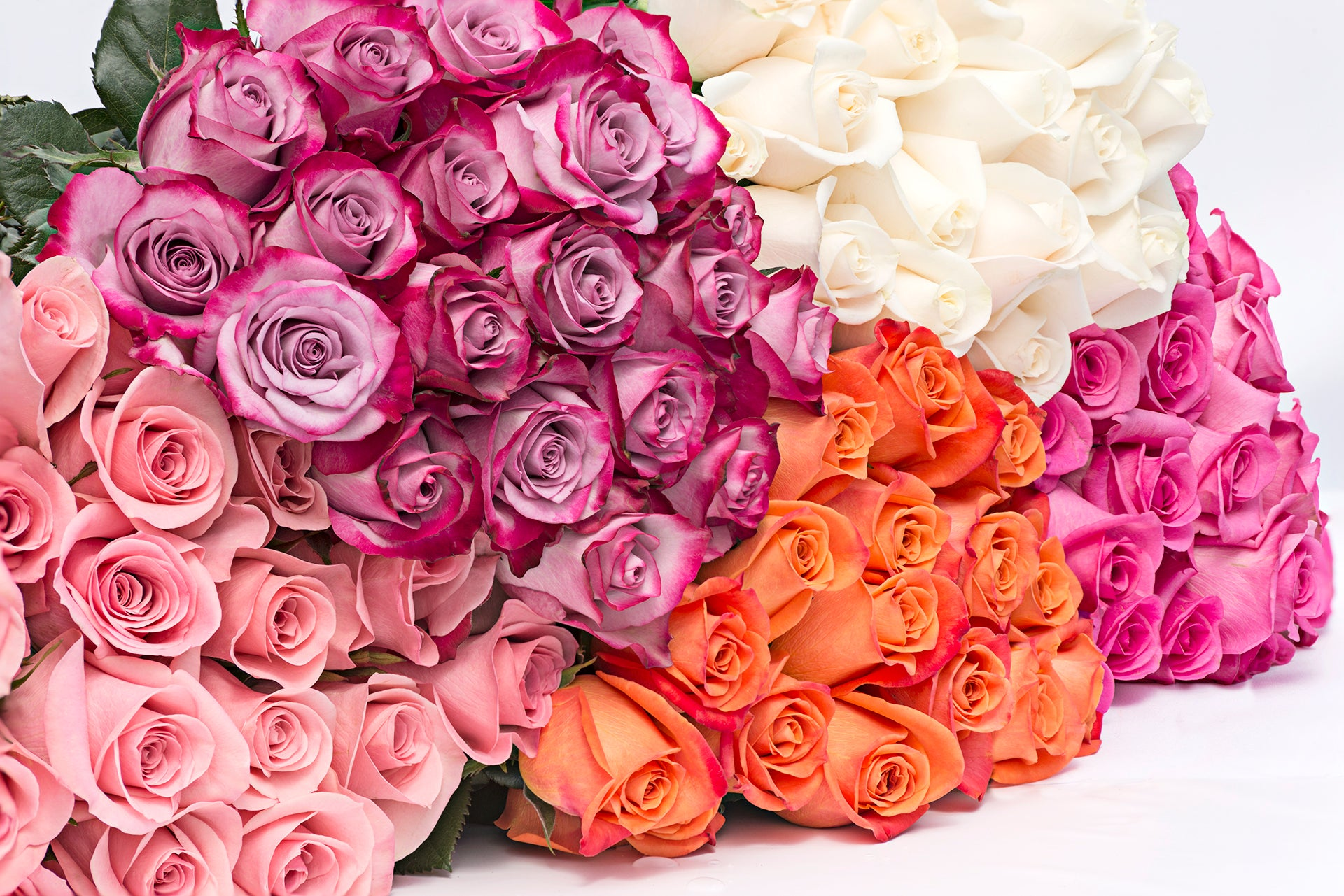 Assorted color roses. This fresh cut wholesale flowers are known for being the flower of love. Excellent choice for weddings; they are a great addition to your home and your office. When words are not enough, this beautiful flowers will be an unmistakable message.