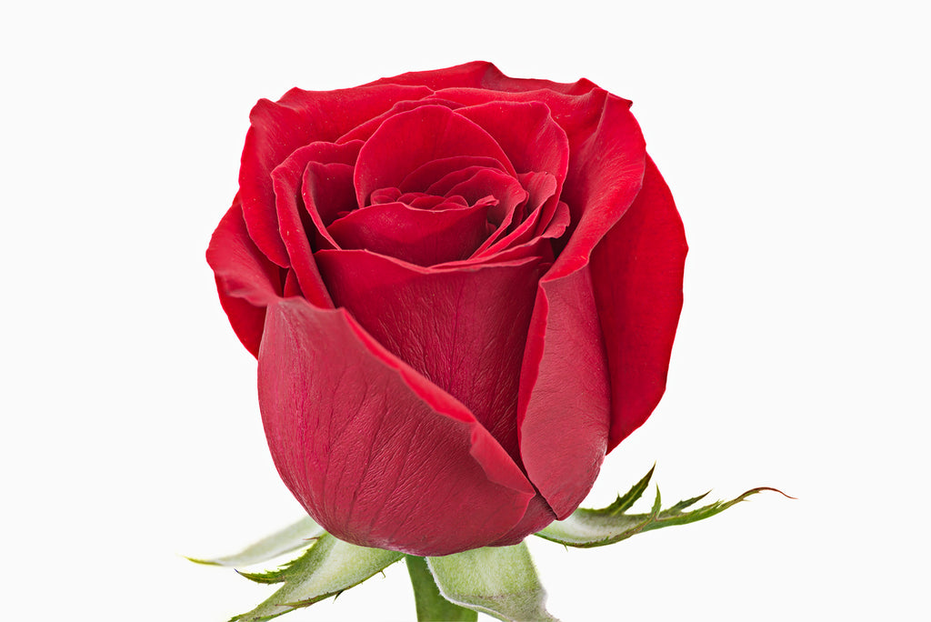 A close up of a red rose. This is the flower of love, and is a perfect gift. Red roses are perfect for weddings and as an addition to your home or office.