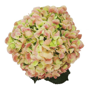 Green antique jumbo fresh cut hydrangea flower. Green hydrangeas represent genuine emotions and gratitude.