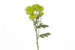 Single green cushion flower stem. This fresh cut flowers are symbols of mayor life changes in a positive way and they are known for representing balance between relaxation and adventure.