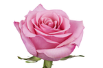 pink roses, best roses, Fresh cut flower, flowers for events, dance recitals, events, wedding flowers, wedding arrangements, flower, beautiful flowers, bulk flowers, cut flowers, wedding planners, wholesale prices,  flowers, freshly cut flowers, color flowers, decoration