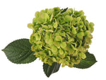 Green kiwi fresh cut hydrangea flower. Green hydrangeas represent genuine emotions and gratitude.