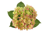A green antique fresh cut hydrangea flower. Green hydrangeas represent genuine emotions and gratitude.