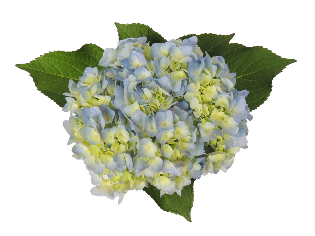 Close up of a blue hydrangea flowers. Blue hydrangeas are symbols of abundance and prosperity.