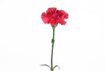 A single hot pink carnation. Hot pink carnations symbolize love and affection.