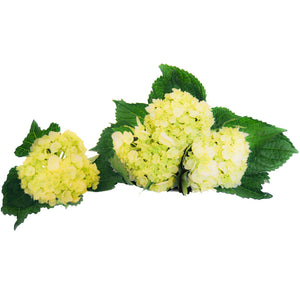 mini hydrangeas delivery, mini hydrangeas  bouquets, wholesale mini hydrangeas, quality flowers, mini hydrangeas for business, fundraising ideas, fresh mini hydrangeas, mini hydrangeas delivered fast