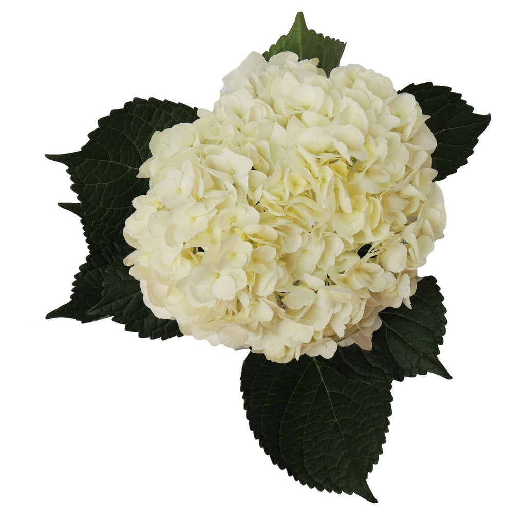 White hydrangeas, Fresh cut flower, flowers for events, dance recitals, events, wedding flowers, wedding arrangements, flower, beautiful flowers, bulk flowers, cut flowers, wedding planners, wholesale prices,  flowers, freshly cut flowers, color flowers, decoration