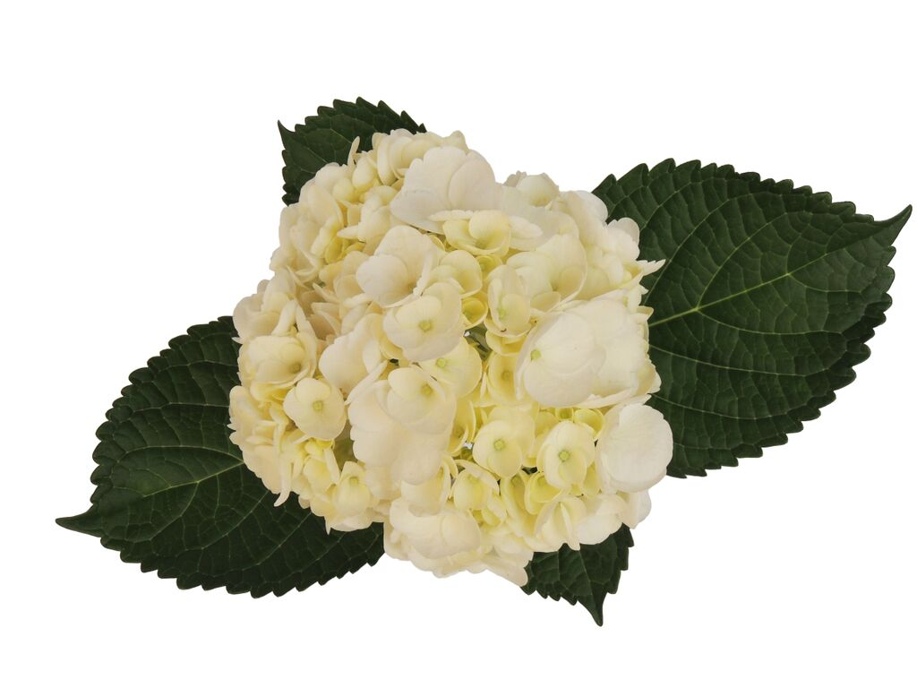 White select hydrangea, Fresh cut flower, flowers for events, dance recitals, events, wedding flowers, wedding arrangements, flower, beautiful flowers, bulk flowers, cut flowers, wedding planners, wholesale prices,  flowers, freshly cut flowers, color flowers, decoration