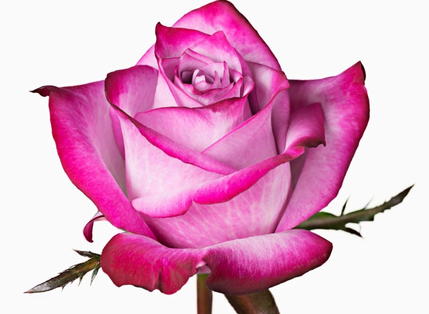 flowers for events events flowers events decoration events wholesale prices flowers wholesale flowers wholesale best prices, wholesale roses best rose beautiful roses wholesalers export flowers fresh cut flowers fresh flowers flowers for events events flowers events decoration events wholesale prices flowers wholesale flowers wholesale best prices, wholesale roses best rose beautiful roses wholesalers export flowers fresh cut flowers fresh flowers