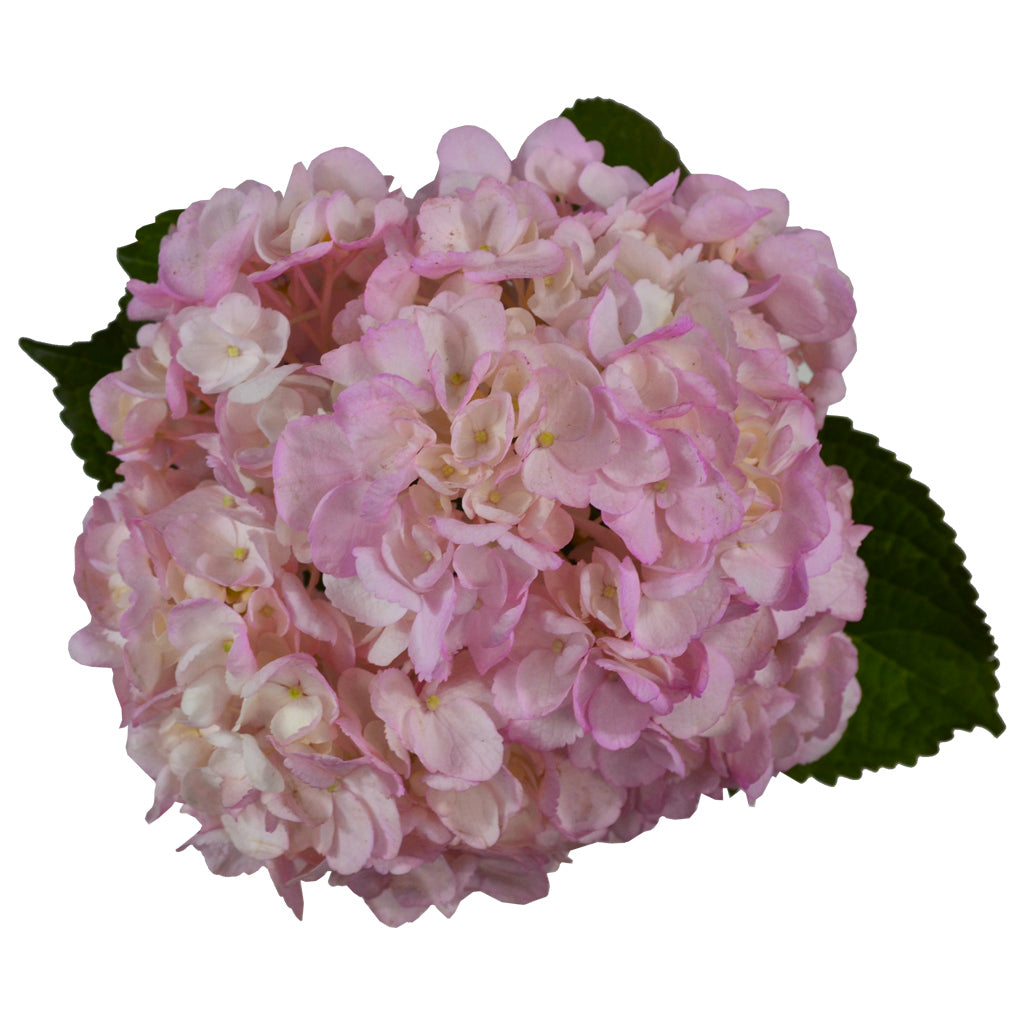 Light pink fresh cut painted hydrangea flowers. Hydrangeas are used to express gratitude and they represent genuine emotions.
