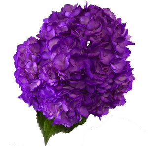 Light purple painted fresh cut hydrangea flowers. Hydrangeas are used to express gratitude and they represent genuine emotions.