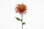 A single stem of a bronze spider mum. This fresh cut flower is a chrysanthemum (chrysanths or mums). Bronze spider mums represent honor and respect. Bronze flowers signifies rebirth and life: making them a great gift in birthdays. They are expressions of sympathy.
