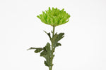 A single stem of a green spider mum. This fresh cut  flowers are a type of chrysanthemum (chrysanths or mums). Mums symbolize friendship, cheerfulness, loyalty and devotion. Green spider mums are symbols of renewal, youthfulness and spring. Green flowers are representations of good health and fortune.