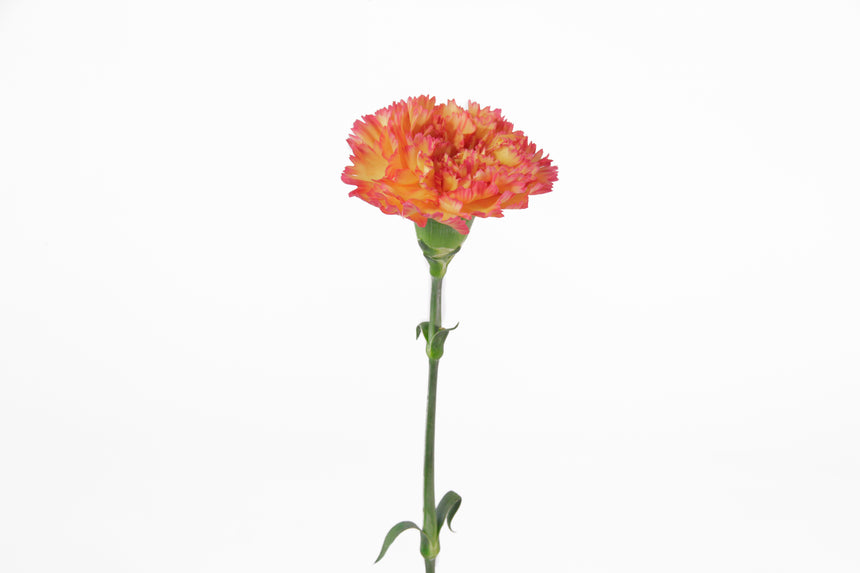 Orange yellow single carnation. Orange yellow bicolor carnations represent happiness and joy.