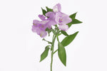 Single stem of a purple alstroemeria. Alstroemerias are also knows as Peruvian lily or lily of the incas. Purple alstroemerias symbolize mystery and majesty.