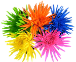 Painted assorted spider mums. This fresh cut wholesale flowers symbolize friendship, cheerfulness, loyalty and devotion.