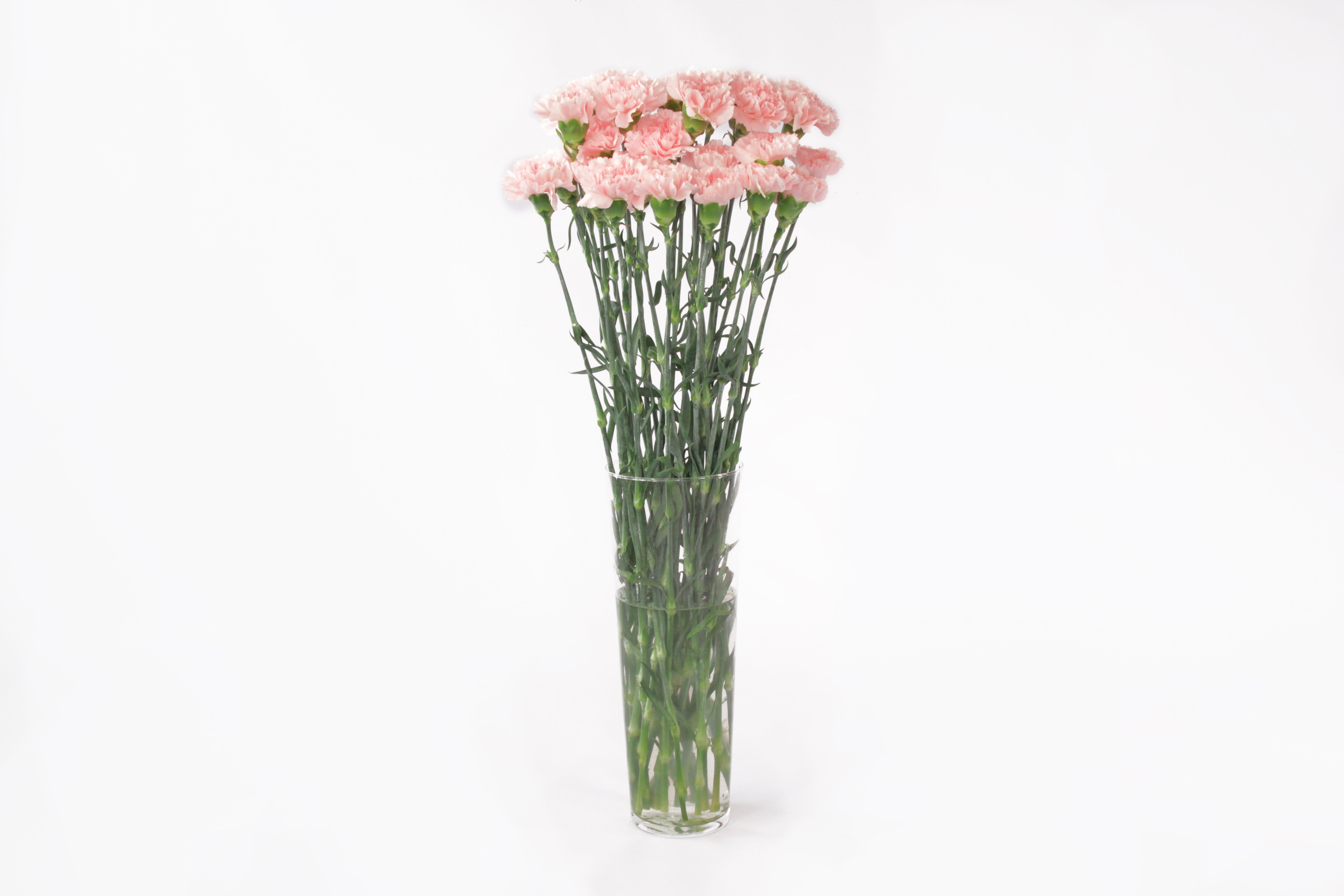 Pink carnations in their vase. Pink carnations are a symbol of gratitude and love.
