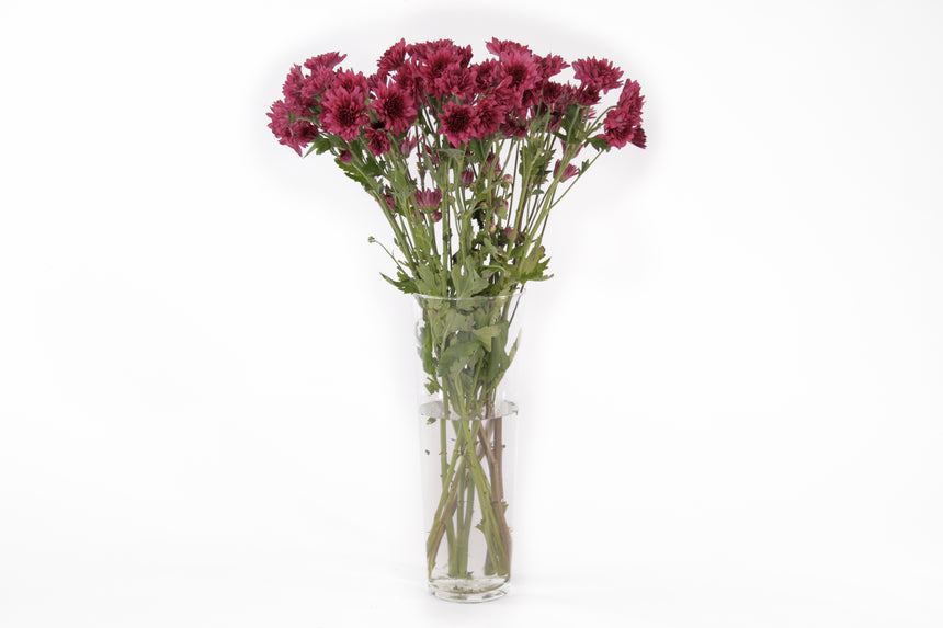 Purple cushion flowers in their vase. This fresh cut flowers are symbols of mayor life changes in a positive way and they are known for representing balance between relaxation and adventure.