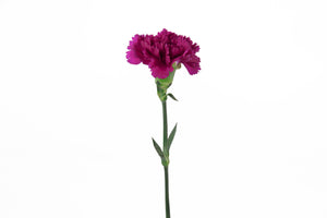 Single purple carnation. Purple carnations are symbols of mystery, grace, charm and elegance.
