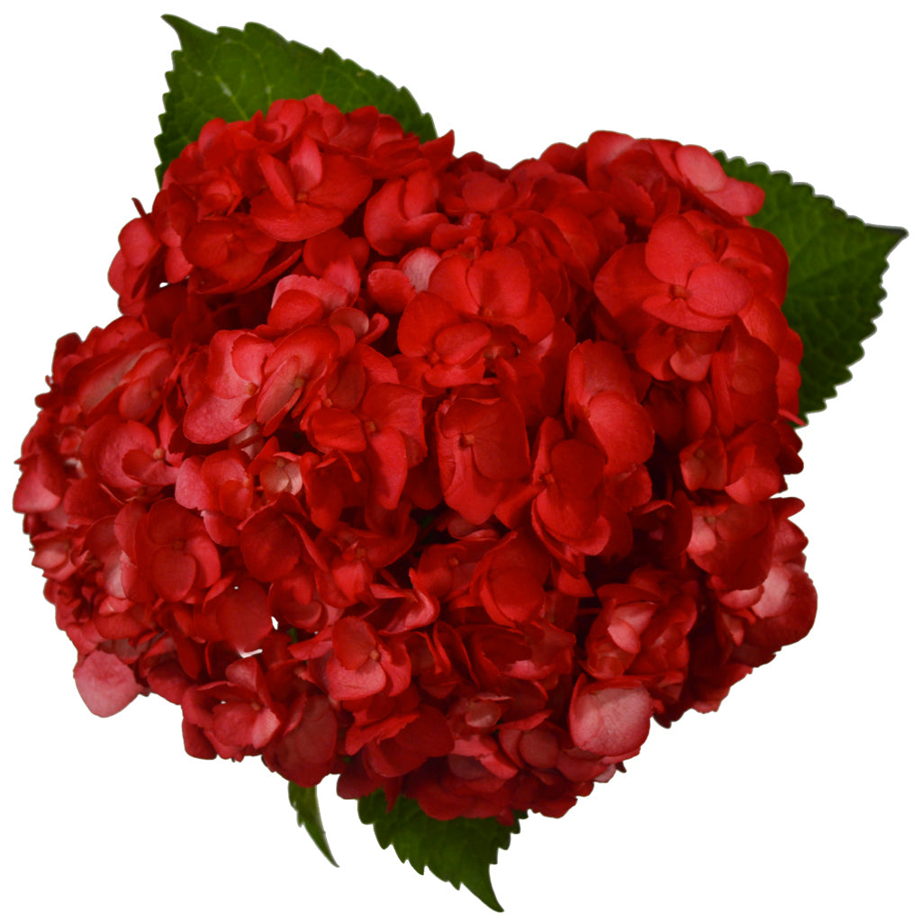 Red painted fresh cut hydrangea. Hydrangeas are used to express gratitude and they represent genuine emotions.