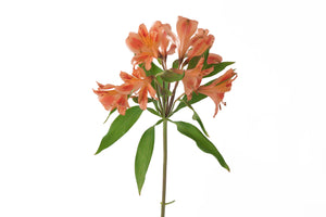 Single orange alstroemeria. Alstroemerias are also known as Peruvian lily or lily of the incas. Orange alstroemerias symbolize happiness and joy.
