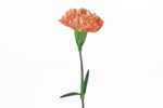 Single orange carnation. Orange carnations are symbols of admiration.