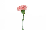 A single pink carnation. Pink carnations are symbols of gratitude.