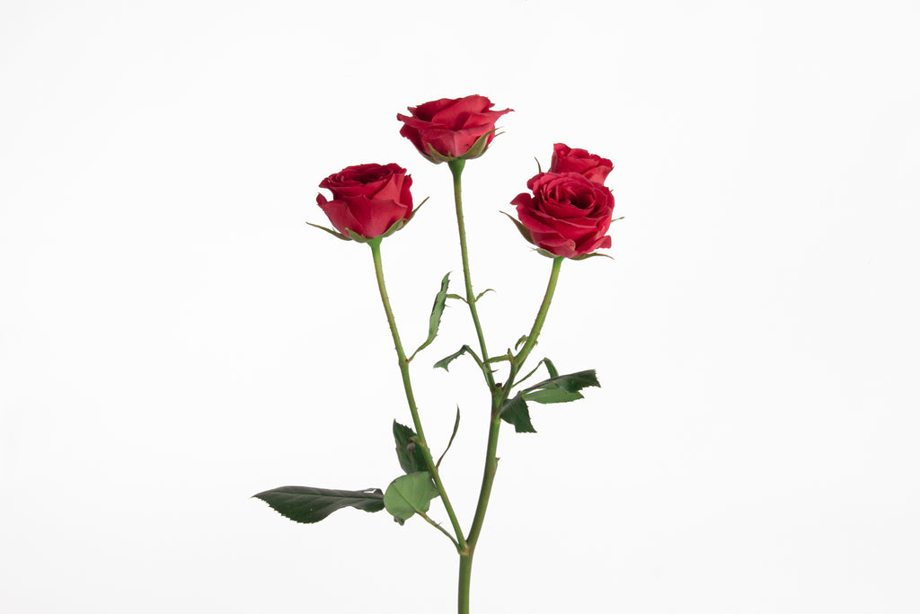 Single stem of red spray roses. Red roses express love, they convey in feelings of desire and devotion.