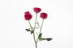 Single stem of hot pink spray roses. Hot pink spray roses are symbols of elegance and grace.