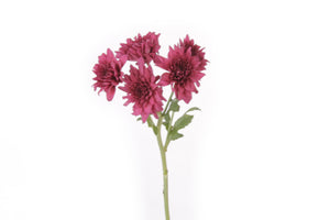 Single stem of a purple cushion flower. This fresh cut flower are symbols of mayor life changes in a positive way and they are known for representing balance between relaxation and adventure.