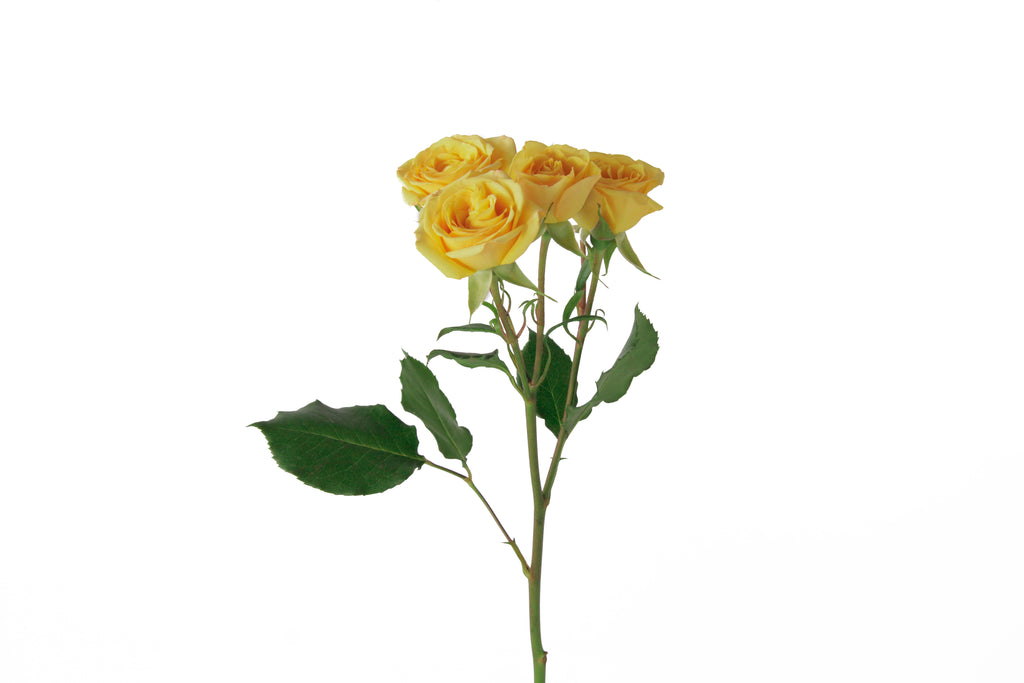 Single stem of yellow spray roses. Yellow spray roses express sunny feelings of joy, exuberance and warmth.