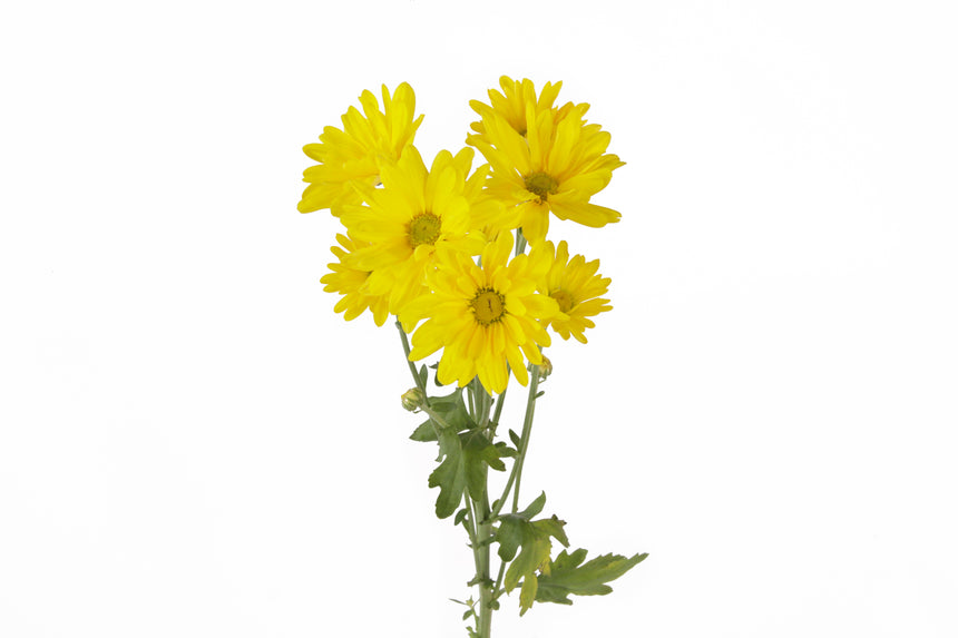 Single stem yellow daisy. This fresh cut flowers are symbols of faraway or departure. Daisies represent innocence, purity and new beginnings. Yellow daisies are related with gentleness and beauty.
