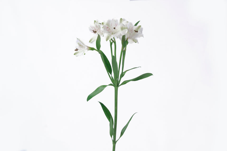 Single stem white alstroemeria. Alstroemerias are also known as lily of the incas or peruvian lily. White alstroemerias represent purity and faith.