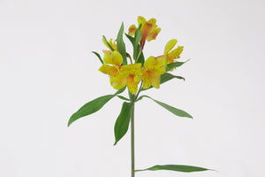Single stem of a yellow alstroemeria. Alstroemerias are also known as Peruvian lily or lily of the incas. Yellow alstroemerias symbolize trust, compassion and respect.