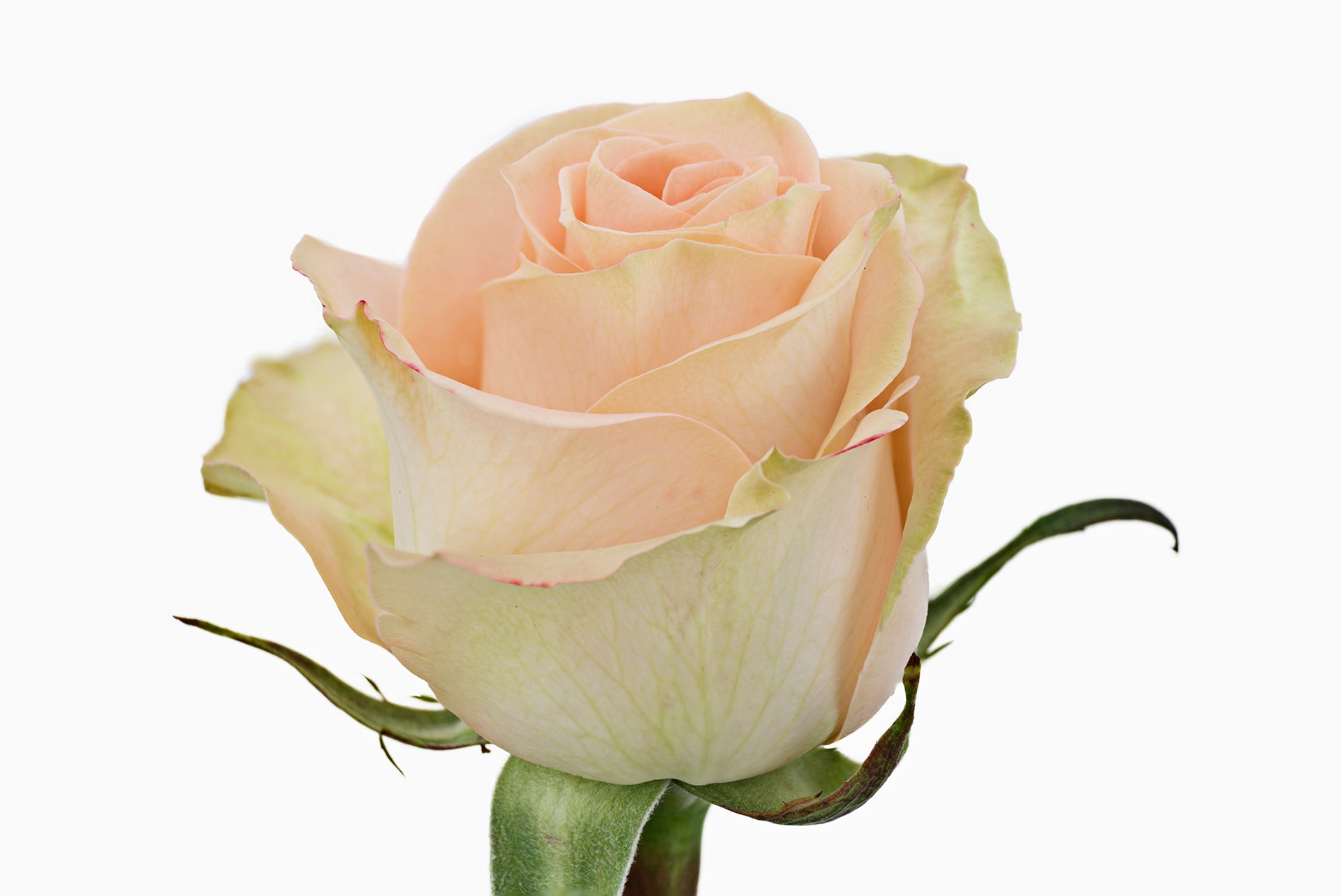 Peach roses fresh online flowers wedding flowers flower close up of a beautiful peach rose the variety of this peach rose is known izmirmasajfo