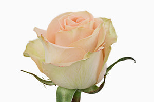 peach rose, Fresh cut flower, flowers for events, dance recitals, events, wedding flowers, wedding arrangements, flower, beautiful flowers, bulk flowers, cut flowers, wedding planners, wholesale prices,  flowers, freshly cut flowers, color flowers, decoration