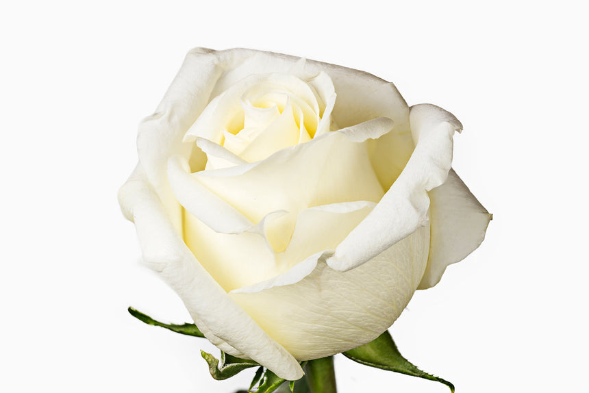 A close up of a beautiful white rose. Roses are perfect for brides and wedding events.