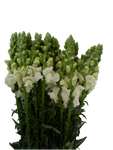 White snapdragons. This fresh wholesale flower symbolize strength and grace.