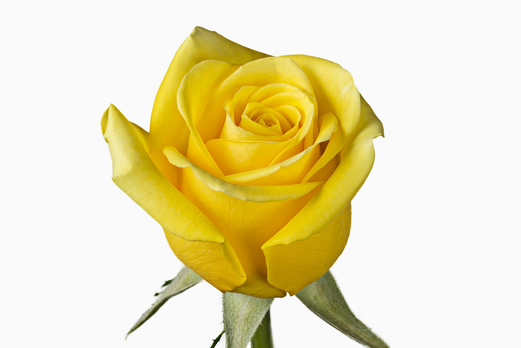 A close up of a yellow rose. Yellow roses are known for expressing  feeling of joy and exuberance they also symbolize caring and friendship.