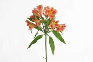 Single stem of a orange-yellow bi color alstroemeria. Alstroemerias are also known as Peruvian lily or lily of the incas. Orange-Yellow bi color alstroemerias symbolize friendship and filial love.