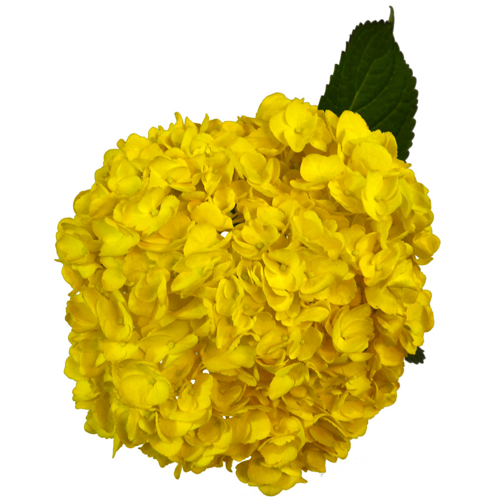 Yellow painted fresh cut hydrangea. Hydrangeas are used to express gratitude and they represent genuine emotions.