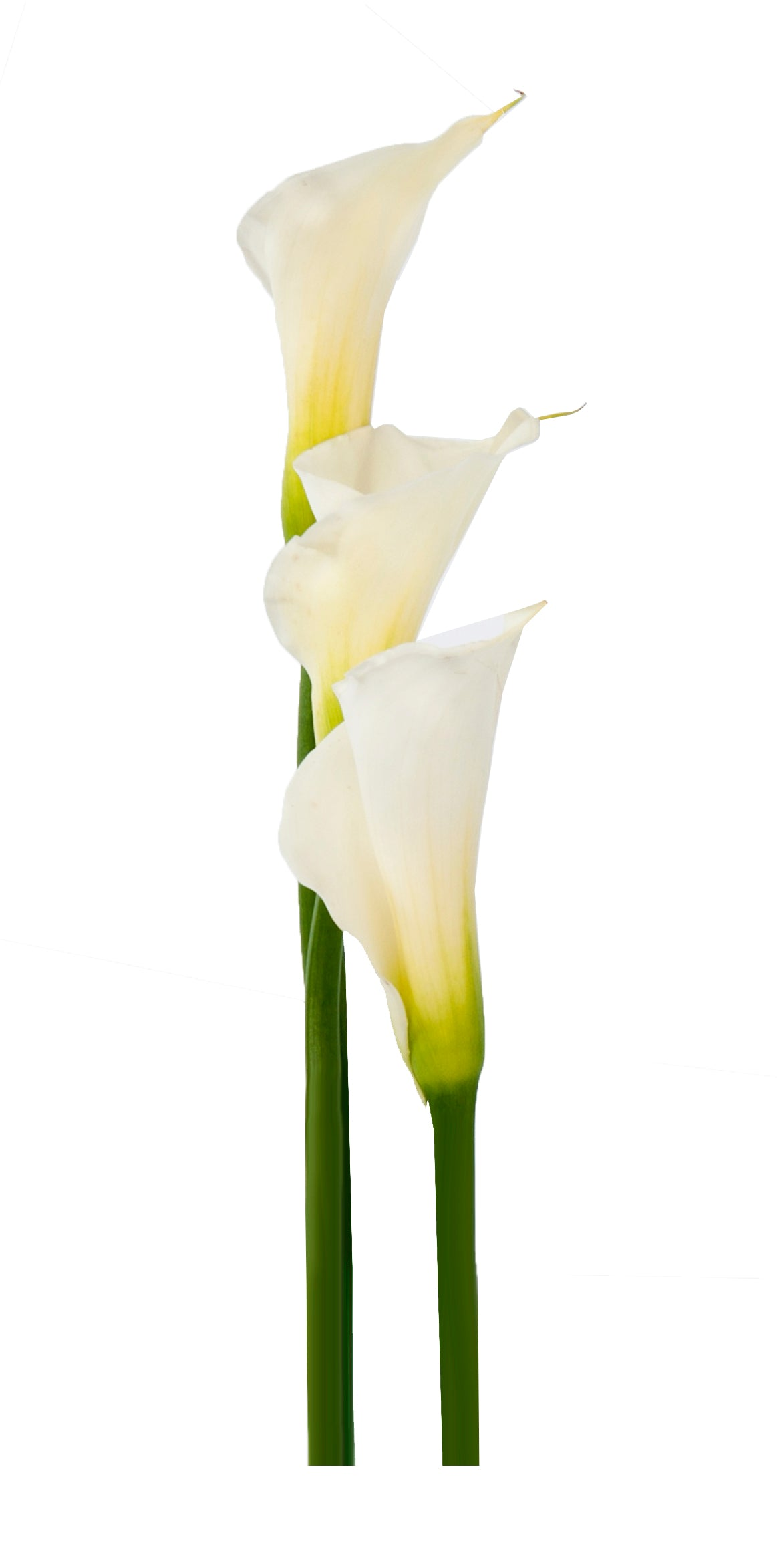 cwhite calla lilies, Fresh cut flower, flowers for events, dance recitals, events, wedding flowers, wedding arrangements, flower, beautiful flowers, bulk flowers, cut flowers, wedding planners, wholesale prices,  flowers, freshly cut flowers, color flowers, decoration