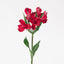 A single red alstroemeria. Alstroemerias are known as peruvian lily or lily of the incas. Red alstroemerias represent warmth and affection towards a friend.