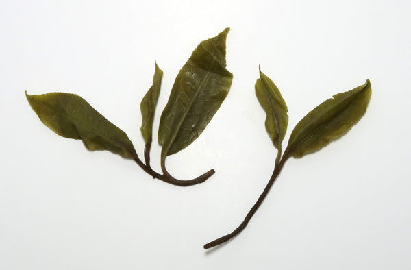 "Baiying ""Black Strips"" Varietal <br> '19 Single Tree Sheng Puer <br> 白莺山 黑条子 单株生普洱"