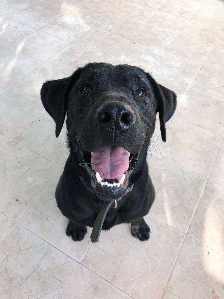 black lab, hiptipico dogs, office dogs, dogs of panajachel, guatemalan street dog