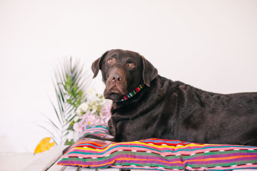 chocolate lab, hiptipico office dog, office pets, emotional support animals