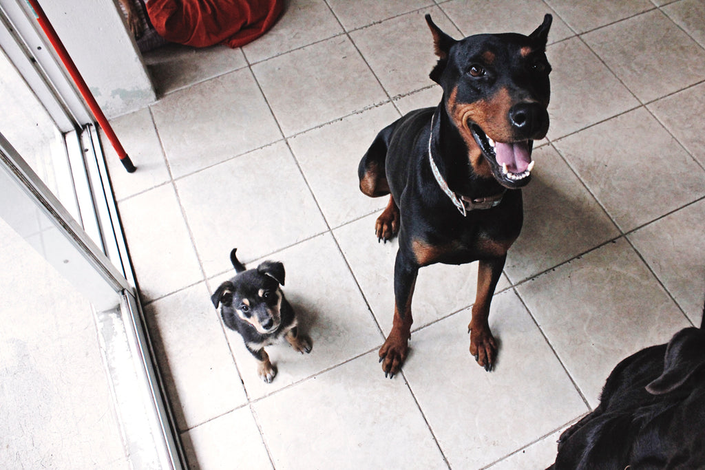 hiptipico dogs, doberman, happy but fierce, office dog, guard dog