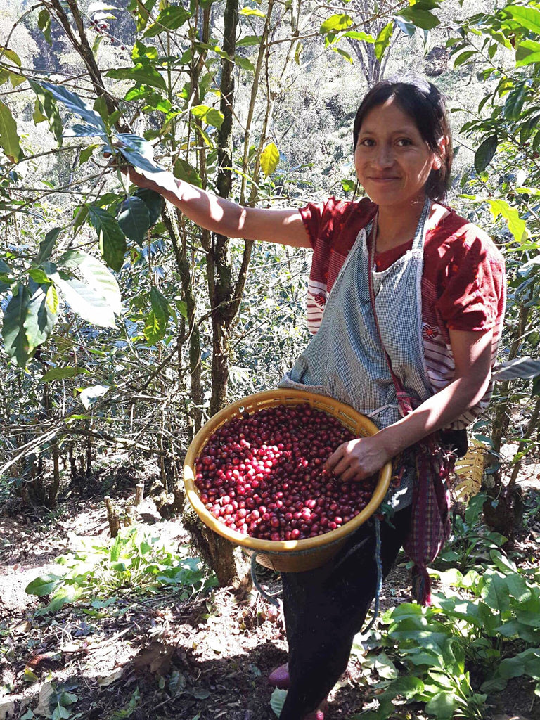 Beans being harvested by Guatemalan woman, Hiptipico Fair Trade Coffee, Cafe Loco Panajachel Coffee, Buy Fair Trade Coffee Online, Coffee Lover Gift Idea, Purchase Guatemalan Huehuetenango Coffee
