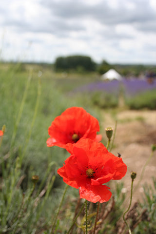 poppies at hitchin lavendar