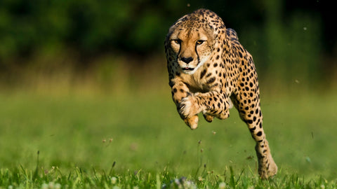 Cheetah running at high speed - Natures HIIT workout